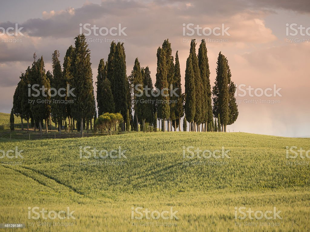 Group of cypress trees at dusk under a pink sky royalty-free stock photo