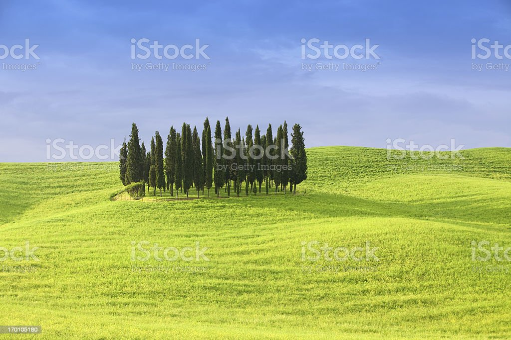 group of cypress trees on rolling hills royalty-free stock photo
