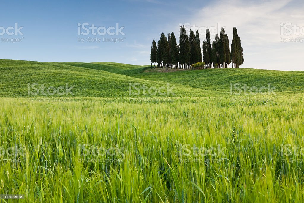 Group of cypresses in San Quirico d´Orcia, Tuscany, Italy royalty-free stock photo