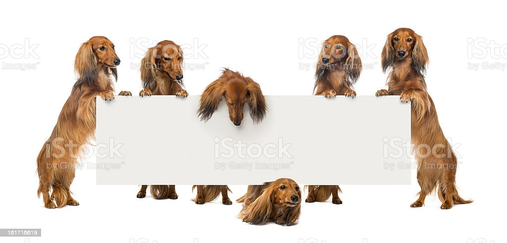 Group of Dachshund standing on hind legs stock photo
