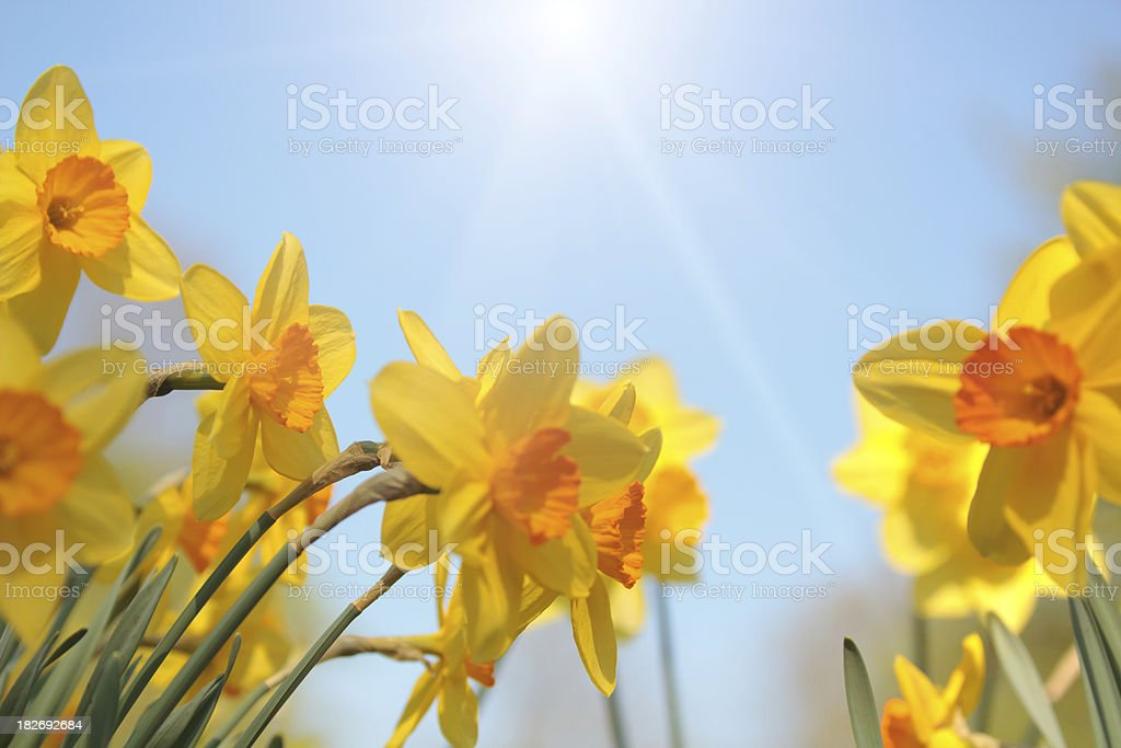 Group of daffodils against sunny blue sky royalty-free stock photo