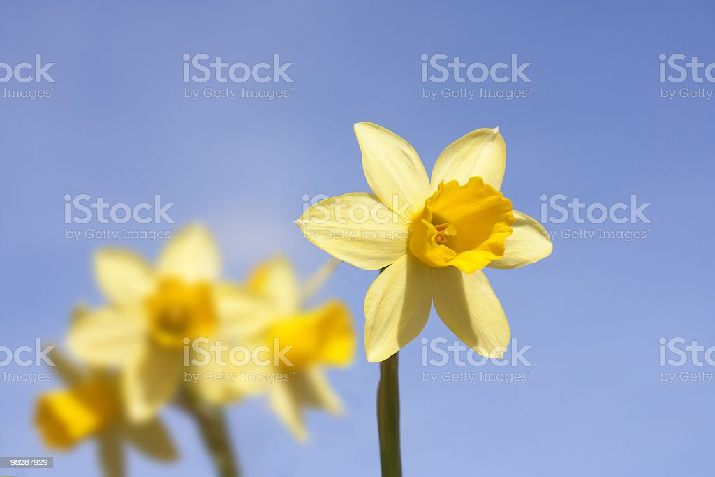 group of daffodils on a summers spring royalty-free stock photo