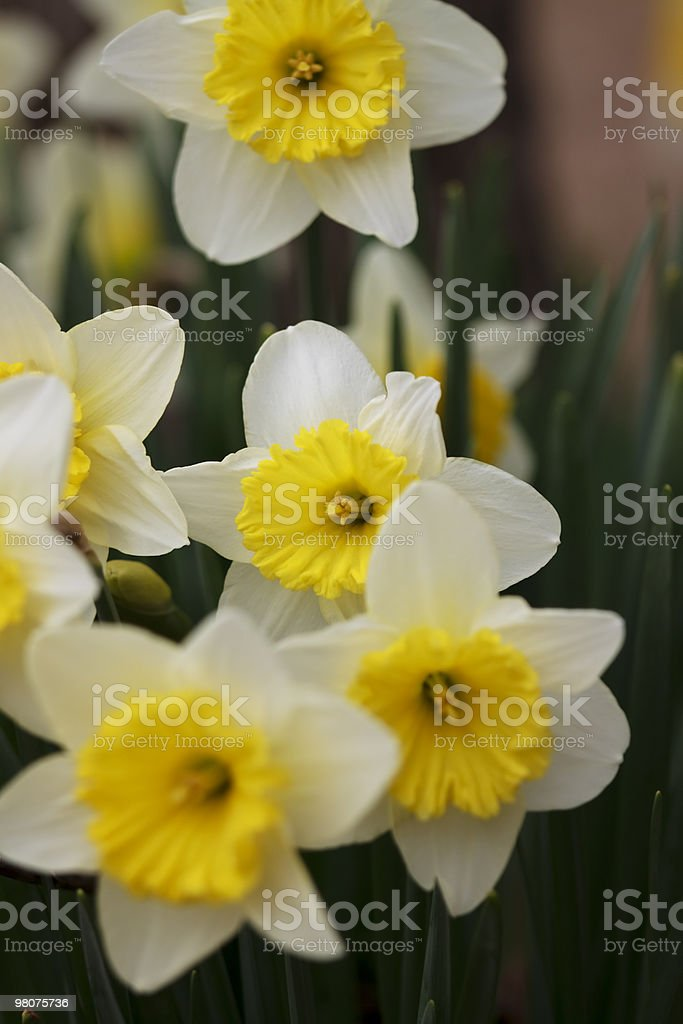 Group Of Daffodils XL royalty-free stock photo