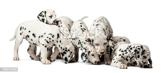 Group of Dalmatian puppies eating in front of a white background