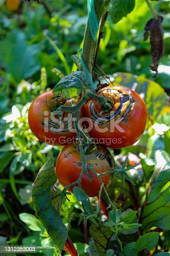A group of damaged ripe tomatoes on a branch. A group of ripe tomatoes on the vine.