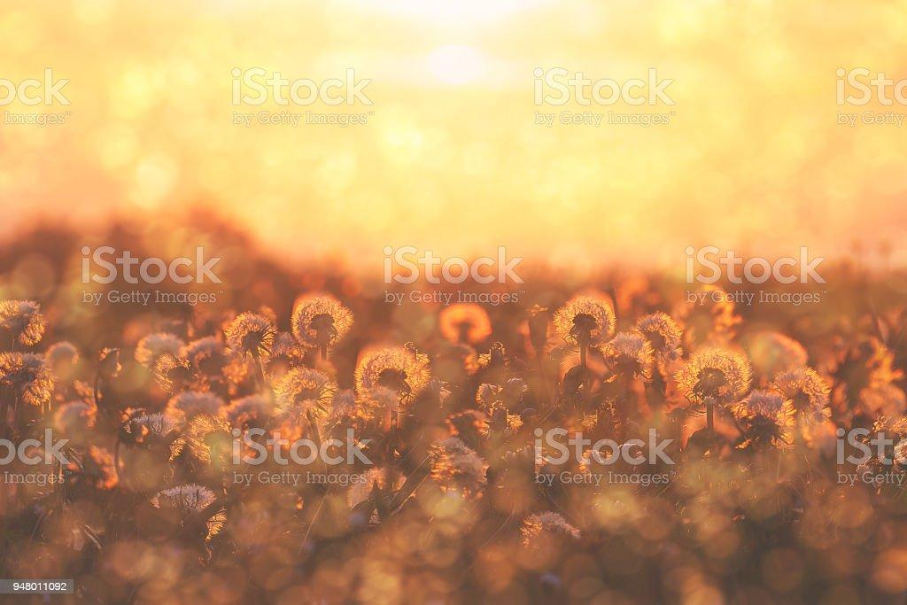 Grupo de flores de diente de León al atardecer con flor y polen - foto de stock