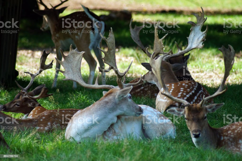 Group of deer in a park standing and sitting royalty-free stock photo