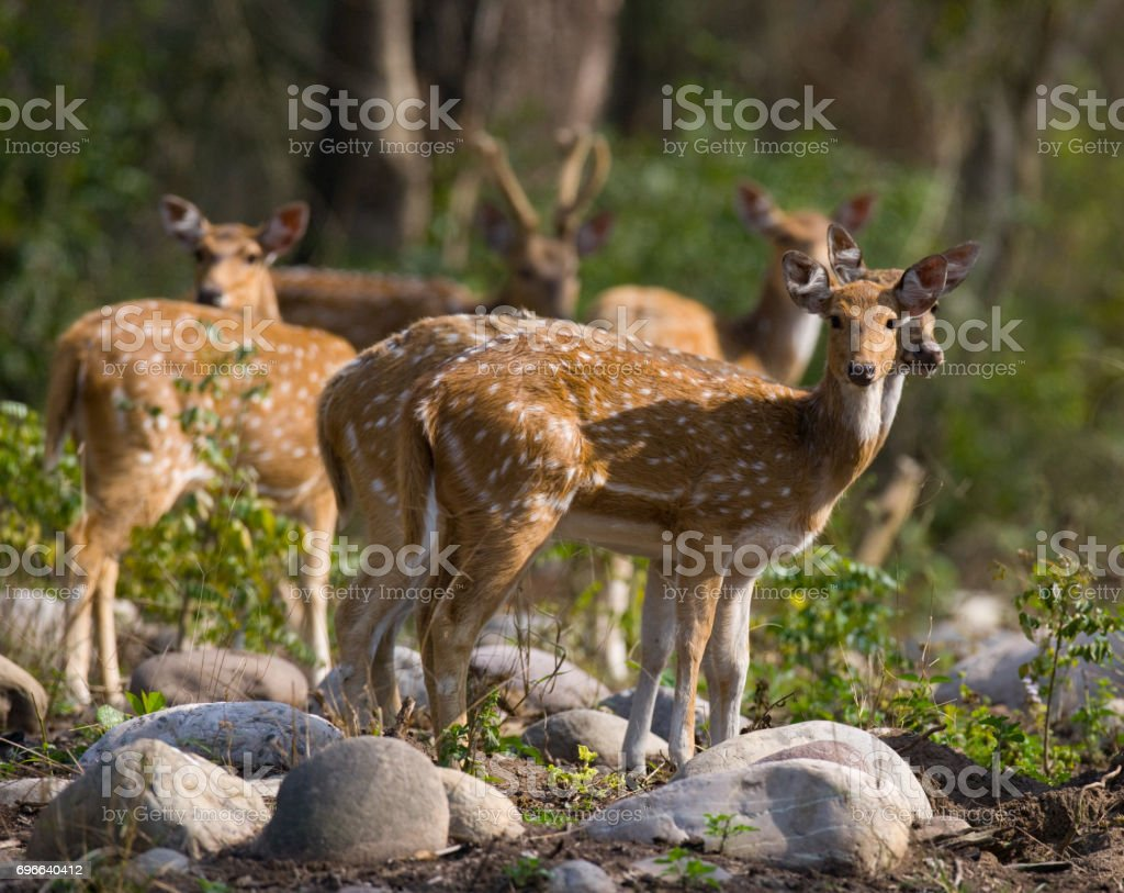 Group of deer's are standing in the jungle in the wild. India. National Park. stock photo