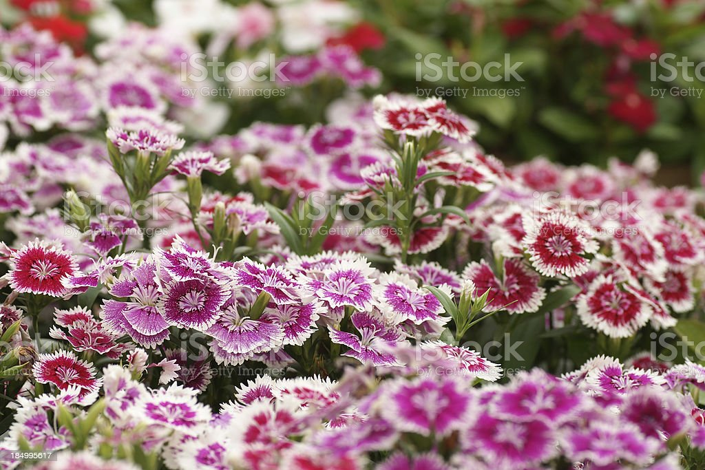 Group of  Dianthus flower tree stock photo