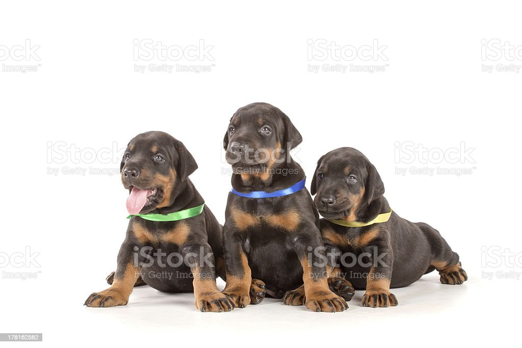 Group of dobermann puppies royalty-free stock photo
