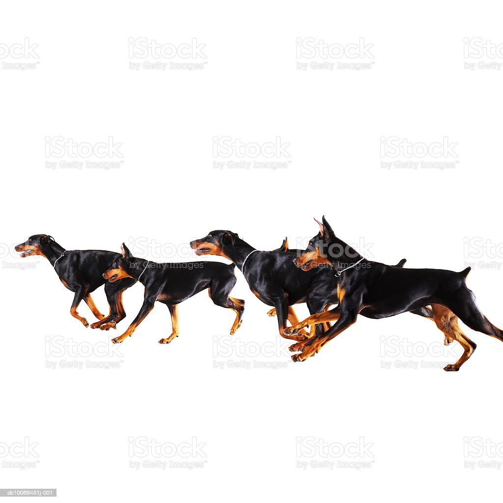 Groupe de Dobermans course sur fond blanc photo libre de droits