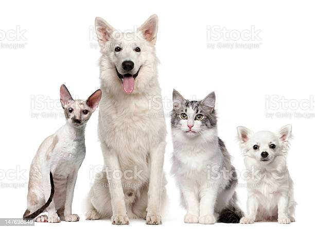 Group of dogs and cats sitting picture id147698849?b=1&k=6&m=147698849&s=612x612&h=cxih8uwhb55imfcizksjhuvxrnsto5d1uoo329qut6u=