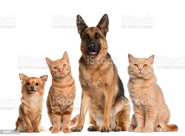 Group of dogs and cats sitting white background picture id483875229?b=1&k=6&m=483875229&s=612x612&h=0cnmavyqkc09ygtprifq2mql147ljege2nztl rqefq=