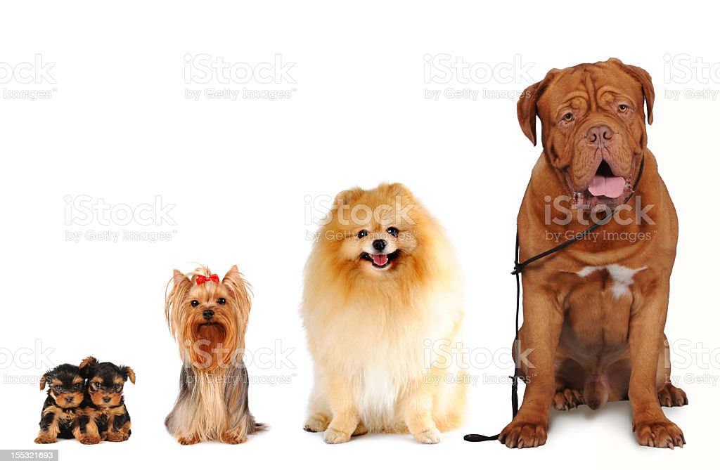 Group of dogs different sizes isolated on white stock photo