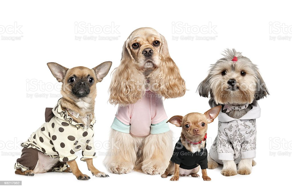 group of dogs dressed : chihuahua,shih tzu and Cocker Spaniel royalty-free stock photo