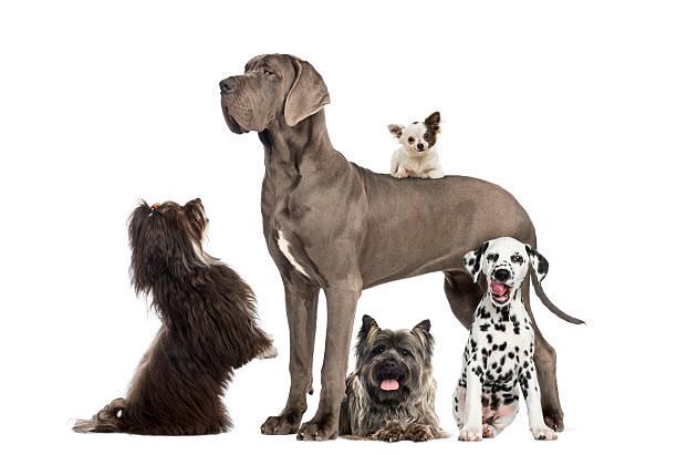 groupe de chiens - chihuahua chien de race photos et images de collection