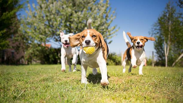 groupe de chiens jouant dans le parc - canidés photos et images de collection