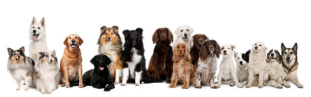 Group of dogs sitting against white background stock photo