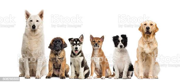 Group of dogs sitting in front of a white background picture id508293300?b=1&k=6&m=508293300&s=612x612&h=wfi9uujpis7dqbah15tblo4ufoc9h19znkfbemi 0ri=