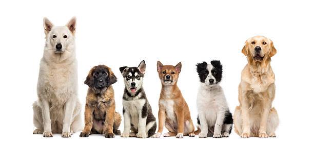 Group of dogs sitting in front of a white background picture id508293300?b=1&k=6&m=508293300&s=612x612&w=0&h=wu fia5iwxg lfjxedowqjjllsbf5dlqoildysnl8as=