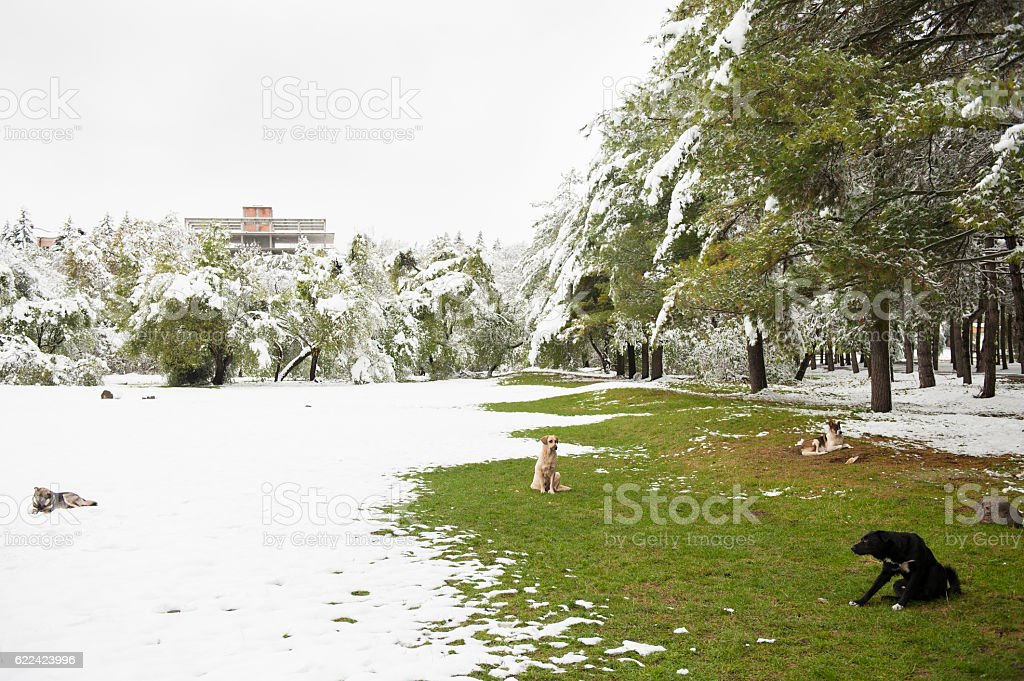 group of   dogs sitting in   park covered with snow   grass stock photo