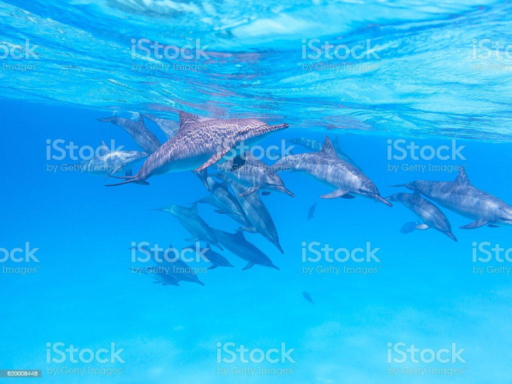 Group of dolphins in tropical sea, underwater foto de stock royalty-free