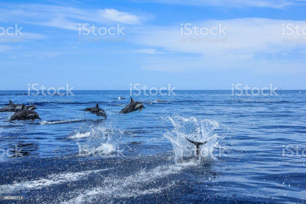 Grupo de delfines saltando - foto de stock