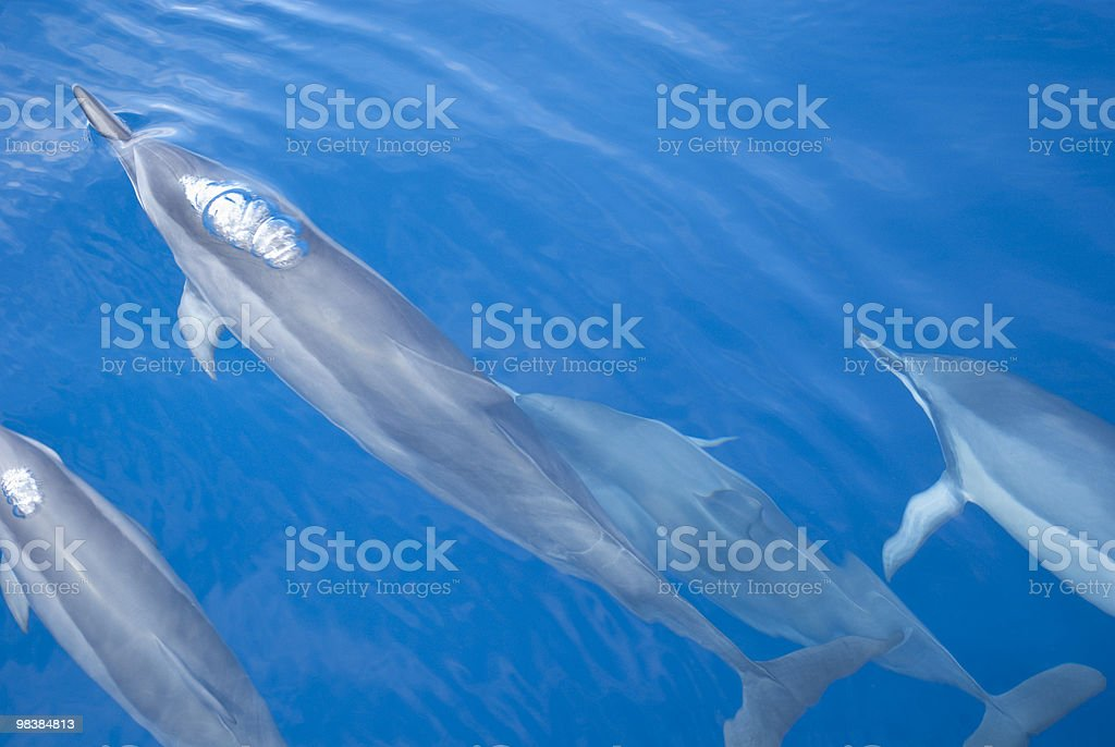 Group of dolphins royalty-free stock photo
