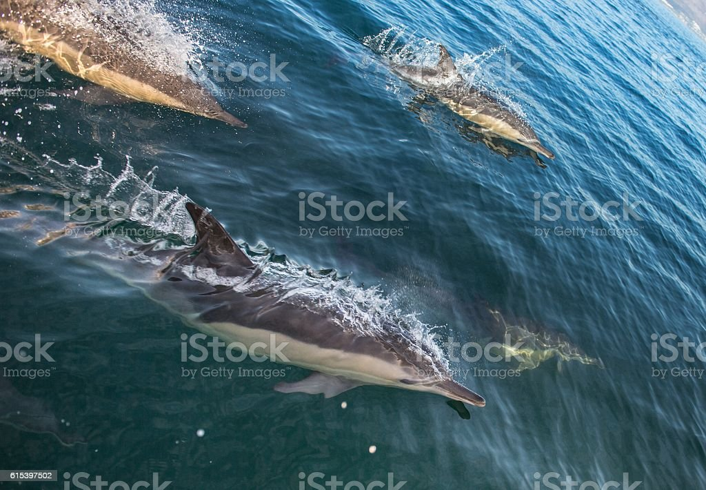 Group of dolphins swimming in the ocean stock photo