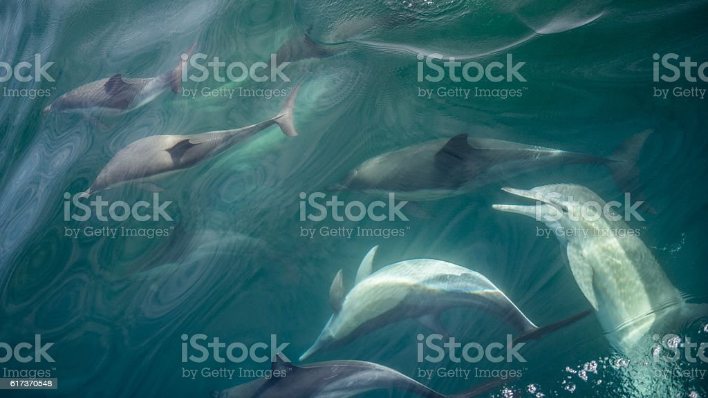Group of dolphins under the water stock photo