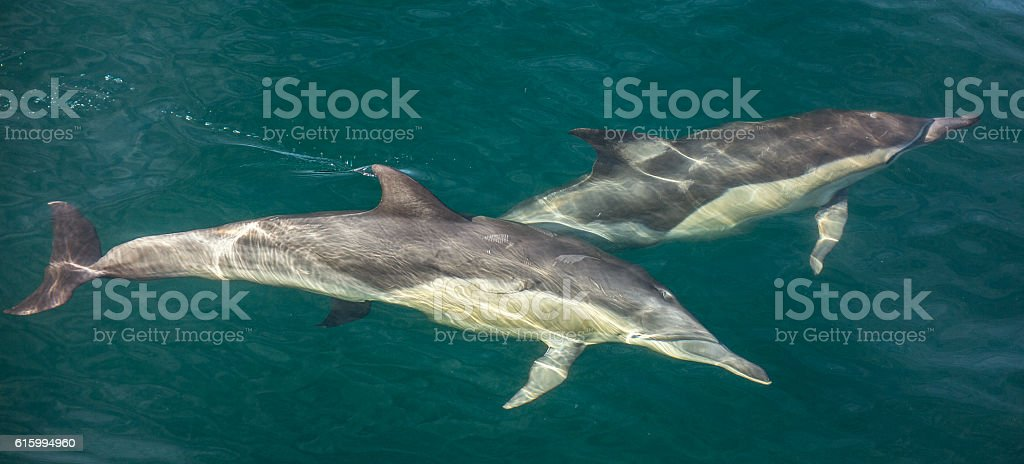 Group of dolphins underwater swimming in the ocean stock photo