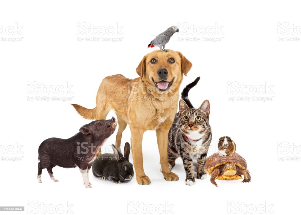 Group of Domestic Pets Together on White stock photo