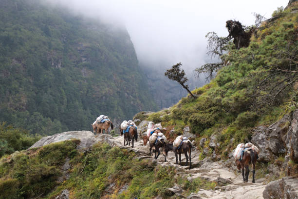 Group of Donkeys carrying food or luggage on the way at Everest Base Camp trekking from lukla to phakding and namche bazaar.Nepal stock photo