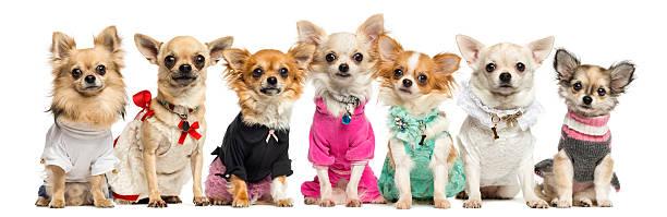 groupe de habillé de chihuahuas, isolés sur blanc - chihuahua chien de race photos et images de collection