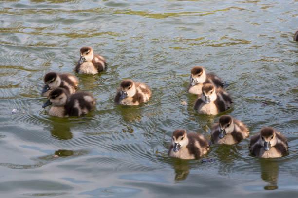 Gruppe von Entenküken nach Mutter Teich lokale kleine nette helle Vögel Wildlife braun weiß – Foto