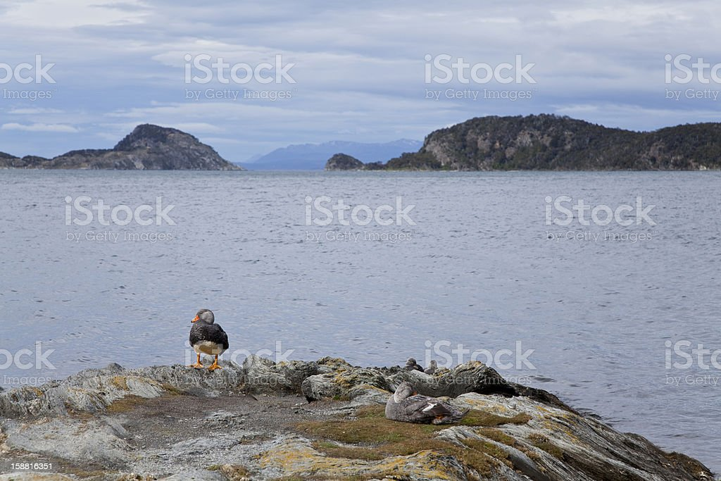 Group of ducks at tierra del fuego national park stock photo