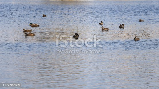 Group of ducks swimming in a lake