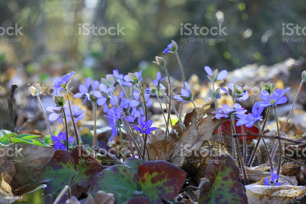 Group of early spring flowers (Hepatica Nobilis) in forest stock photo
