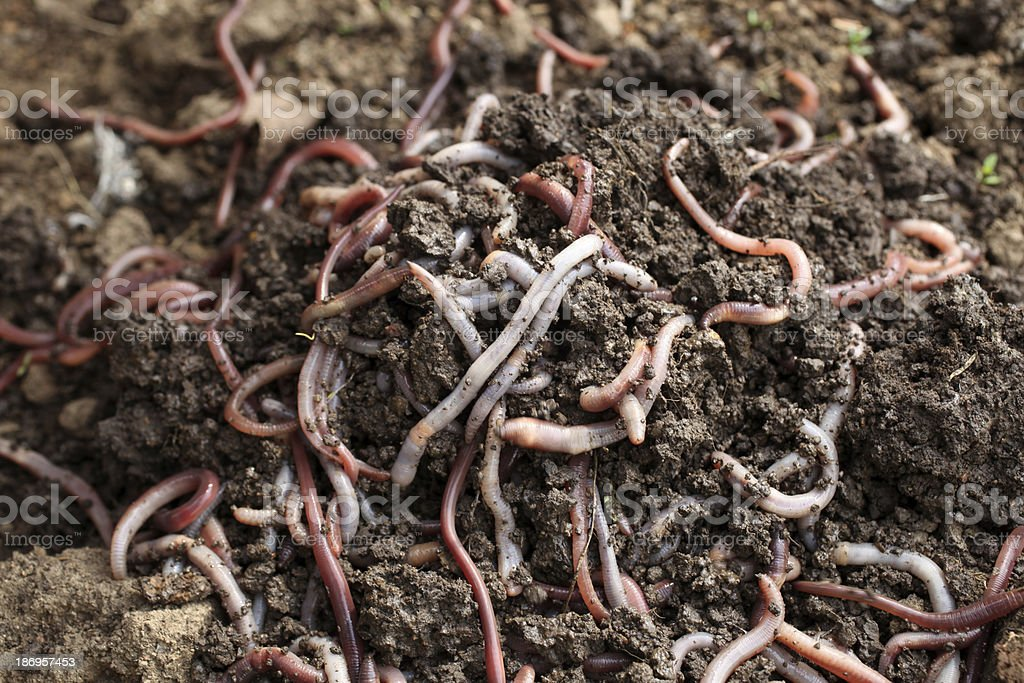 Group of earthworms in the earth stock photo