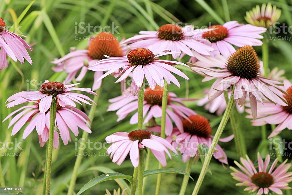 Group of Echinacea flowers royalty-free stock photo