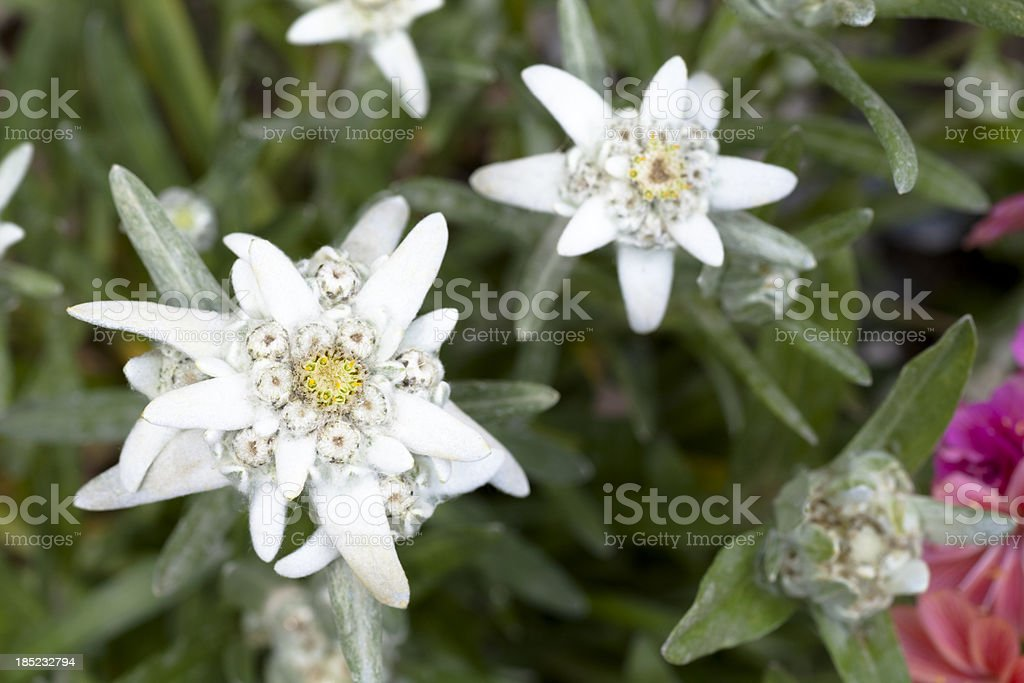 Group of edelweiss stock photo