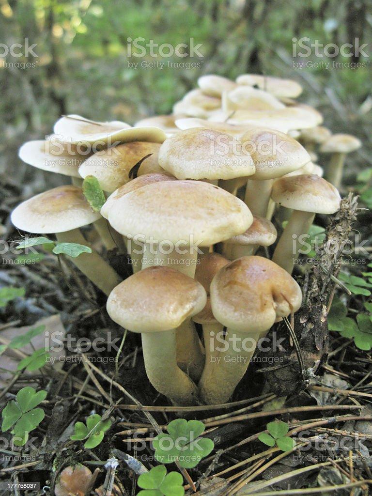 group of edible honey agaric mushrooms stock photo