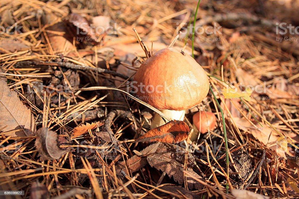 Group of edible mushrooms suillus luteus. stock photo