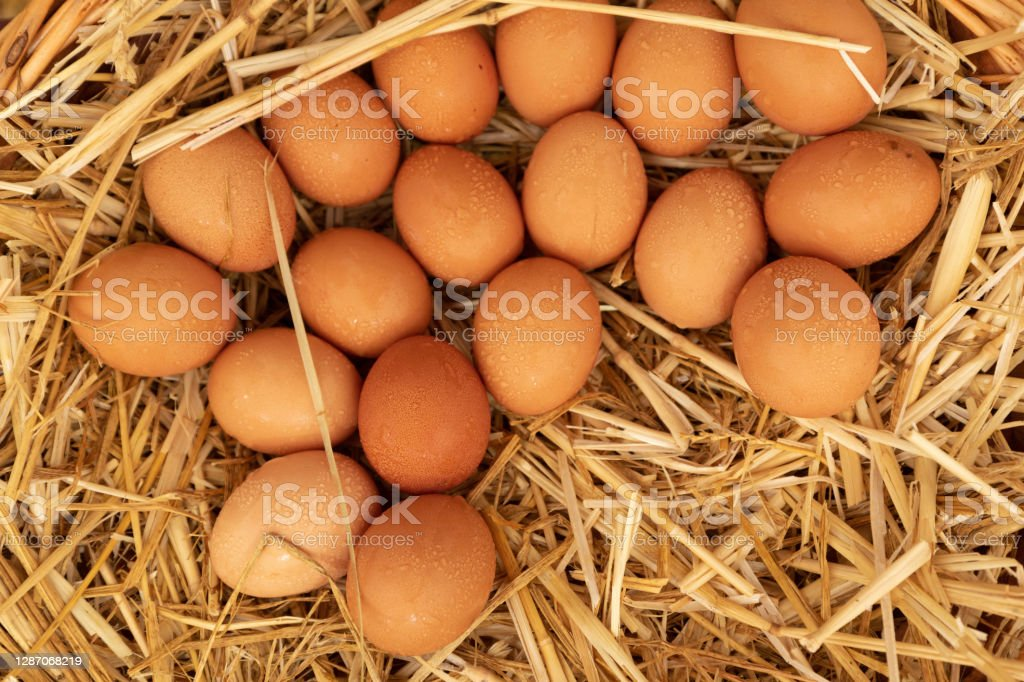 group of eggs lying on straw fresh eggs laid flat on straw, there are drops of water on the eggs Agriculture Stock Photo