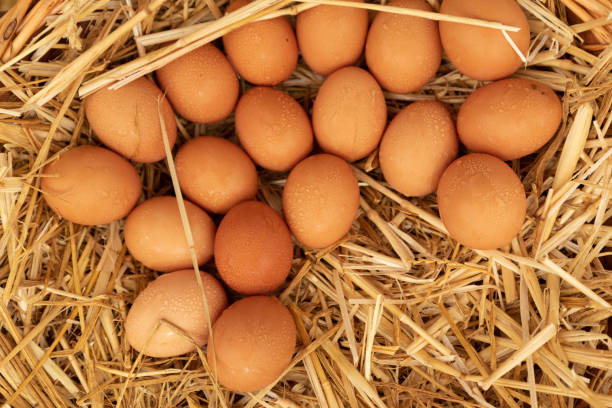 group of eggs lying on straw stock photo