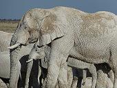 Group of elephants drinking water at waterhole in Etosha, Namibia