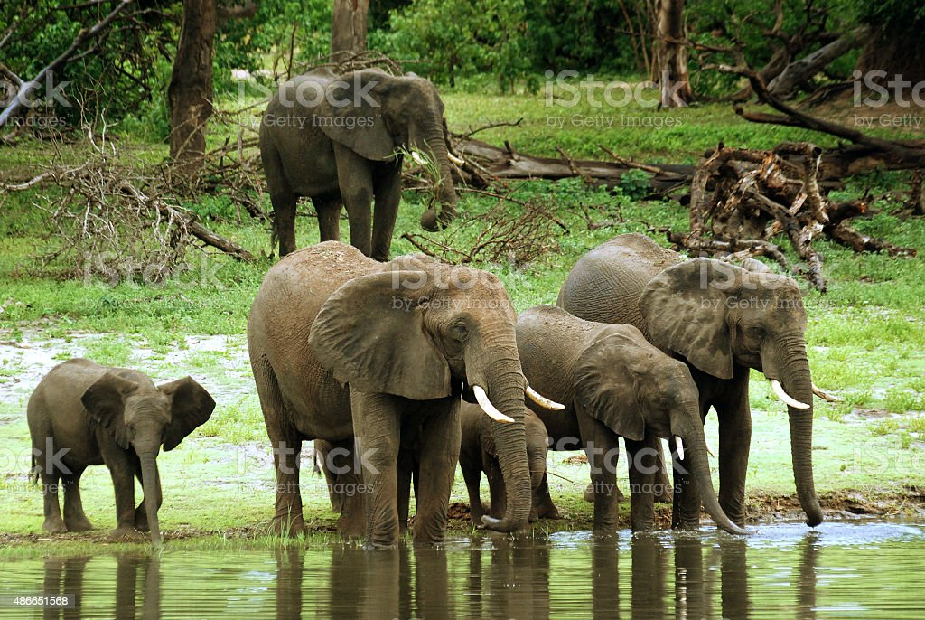 Group of elephants drinking water stock photo