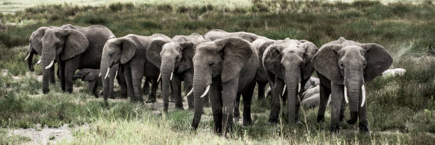 Group of elephants in Serengeti National Park Group of elephants in Serengeti National Park tusk stock pictures, royalty-free photos & images