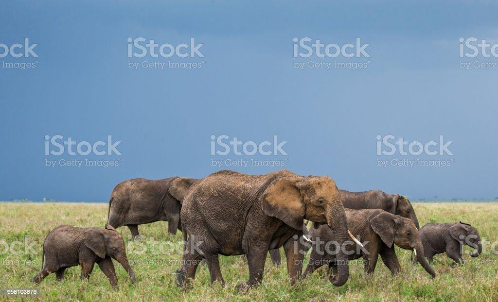Group of elephants in the savannah. stock photo