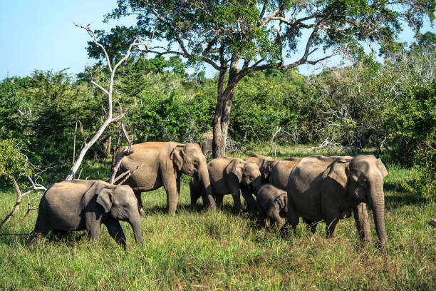 Group of elephants in wild Few elephants with babies on the background of the green trees and blue sky in Yala National Park on Sri Lanka. Sun shines onto them. Horizontal. yala stock pictures, royalty-free photos & images